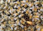 蜂蜜生姜茶 柠檬和蜂蜜能一起喝吗 牛奶加蜂蜜的功效 蜂蜜怎样祛斑 养蜜蜂的技巧