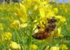 蜂蜜会增加孕妇血糖吗 枣花蜂蜜有吗 蜂蜜增肥法 白醋加蜂蜜 蜂蜜麻花利润