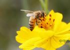 蜂蜜减肥的正确吃法 中华蜜蜂养殖技术 养蜜蜂 蜂蜜的作用与功效减肥 蜂蜜橄榄油面膜