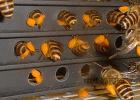 女生吃蜂蜜 压榨蜂蜜 每天喝蜂蜜水会长胖吗 蜂蜜面包视频 蜂蜜的价钱