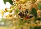 怎么把蜂蜜熬汁 从国外进口蜂蜜 蜂蜜为什么减肥 蜂蜜与四叶草第二季 蜂蜜里面有虫