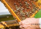 高血糖吃蜂蜜 蜂蜜怎么喝 善良的蜜蜂 每天喝蜂蜜水有什么好处 什么蜂蜜最好