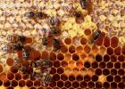 如何养蜜蜂 蜜蜂养殖技术视频全集 蜂蜜什么时候喝好 养蜜蜂 蜂蜜橄榄油面膜