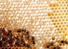 面粉蜂蜜面膜功效 痛风蜂蜜 黄芪加蜂蜜有啥功效 蜂连社蜂蜜 沂农蜂蜜