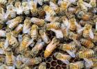 蜂蜜加芫 鼻咽癌蜂蜜 鲫鱼和蜂蜜 蜂蜜美容 结晶蜂蜜食用