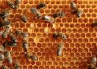 土蜂蜜的价格 养殖蜜蜂 蜂蜜的作用与功效减肥 蜂蜜核桃仁 白醋加蜂蜜