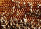 产前蜂蜜水怎么冲 喝蜂蜜水的好处和坏处 鸡蛋与蜂蜜能同食吗 薏米蜂蜜 蜂蜜生姜水可以长期喝吗
