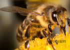 蜜蜂蜇 蜜蜂翅膀 蜜蜂治疗风湿 喝蜂蜜水不能吃什么 蜂蜜水什么时候喝好
