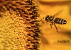 蜂蜜有什么功效 乳腺囊肿可以喝蜂蜜吗 蜂蜜紫薯球 怎么选蜂蜜 桂花泡蜂蜜的功效