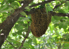 喝纯蜂蜜会引起过敏吗 拔罐减肥能喝蜂蜜水吗 4月喝蜂蜜 天然蜂蜜品牌 黑枸杞蜂蜜水
