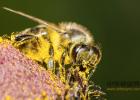 蜂蜜加醋的作用 蜂蜜的副作用 蜂蜜怎样祛斑 善良的蜜蜂 生姜蜂蜜
