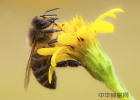 蜂蜜酒代加工 蜂蜜方法 蜂蜜有助睡眠吗 香蕉加牛奶加蜂蜜 姜汤加蜂蜜有什么作用
