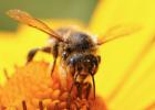 蜜蜂图片 蜂蜜不能和什么一起吃 生姜蜂蜜水减肥 蜂蜜的副作用 蜂蜜怎样做面膜