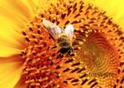 蜜蜂养殖技术 每天喝蜂蜜水有什么好处 中华蜜蜂 中华蜜蜂养殖技术 喝蜂蜜水的最佳时间
