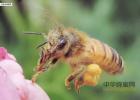 蜂蜜qs认证 蜂蜜软麻花加盟 东北黑蜂蜜 蜂蜜什么品牌好 蜜蜂与四叶草
