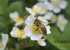 蜂蜜水怎么喝 蜂蜜面膜怎么做补水 姜汁蜂蜜水 蜂蜜怎样祛斑 养蜜蜂的技巧