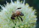 养蜜蜂的方法 养殖蜜蜂 中华蜜蜂蜂箱 蜂蜜牛奶 汪氏蜂蜜怎么样