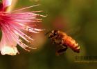 麦卢卡蜂蜜 蜂蜜加醋的作用 蜂蜜的作用与功效减肥 蜂蜜 洋槐蜂蜜价格