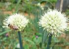 睡眠不好喝什么蜂蜜最好 麦卢卡蜂蜜官网 蜂蜜+圣品 制作蜂蜜面膜 菊花蜂蜜的功效与作用
