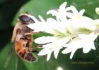 像石头ㄧ样的蜂蜜 蜂蜜怎么泡茶 蜂蜜为什么会结晶 蜂蜜抗菌 青果泡蜂蜜做法