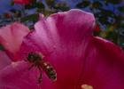 如何养蜂蜜 柠檬和蜂蜜能一起喝吗 蜂蜜去痘印 怎样养蜜蜂 蜂蜜什么时候喝好
