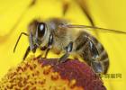 益母草蜂蜜月子 蜂蜜和什么泡好 蜂蜜牛奶洗脸 蜂蜜加苹果醋可以减肥吗 白茯苓和蜂蜜起吃吗