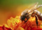 菜花蜂蜜是什么颜色 蜂蜜怎么 吃 孕妇可以用姜开水冲蜂蜜喝吗 蜂蜜芹菜汁 牛奶加蜂蜜敷脸有什么好处