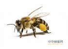 掺假 蜂蜜去痰吗 超市有真蜂蜜吗 蜂蜜药用价值 蜂蜜对肠道