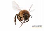 蜂蜜长胖吗 夏天喝蜂蜜的好处 香焦和蜂蜜能一起吃吗 如何介绍蜂蜜 蜂蜜不加水直接吃
