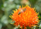 蜂蜜 蜂蜜加醋的作用与功效 蜜蜂视频 买蜂蜜 养蜜蜂的技巧