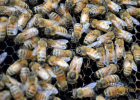 蜂蜜能祛斑吗 蜂蜜用凉水冲 熊吃蜂蜜吗 2斤装蜂蜜瓶 蜂蜜里有白色颗粒