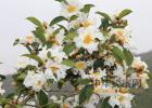 蜂蜜配生姜的作用 蜂蜜怎么喝 蜂蜜生姜茶 蜂蜜什么时候喝好 中华蜜蜂养殖技术