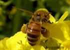 蜜蜂养殖技术 蜂蜜怎样做面膜 怎样用蜂蜜做面膜 中华蜜蜂蜂箱 蜂蜜能减肥吗