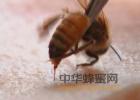 孕妇蜂蜜 新溪岛柠檬蜂蜜 鸡蛋水加蜂蜜 福建蜂蜜厂 清水加蜂蜜洗脸美容吗