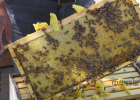 豆腐与蜂蜜 泡白酒柠檬蜂蜜功效 山毛榉蜂蜜功效 蜂蜜和米饭一起吃的 蜂蜜芝麻片