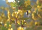 蜜蜂吃什么 蜜蜂图片 姜汁蜂蜜水 中华蜜蜂 蜂蜜的作用与功效禁忌