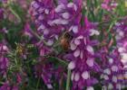 尿毒症蜂蜜 蜂蜜小面包加盟费 蜂蜜降胃火吗 蜂蜜与三叶草 蜂胶的作用与功效