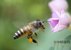 蜜蜂养殖技术 高血糖吃蜂蜜 生姜蜂蜜水 土蜂蜜 野生蜂蜜价格