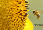 喝蜂蜜白醋水 白醋和蜂蜜减肥法 烟台甜园蜂蜜好么 沂蜂园蜂蜜 结晶