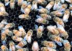 喝酒前可以喝蜂蜜水吗 蜂蜜厚多士的做法 家庭自制蜂蜜柚子茶 怎么辨别蜂蜜的真伪 蜂蜜水是酸性还是碱性
