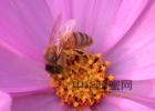 蜂蜜怎么喝 养蜜蜂技术视频 manuka蜂蜜 自制蜂蜜柚子茶 养殖蜜蜂