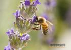 蜜蜂厨房 中华蜜蜂网 蜜蜂幼虫 红糖蜂蜜面膜功效 野蜂蜜