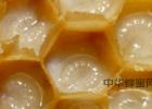20度的温度了蜂蜜怎么还是结晶的状态 红烧肉可以放蜂蜜吗 蜂蜜和茶可以一起喝吗 猪油蜂蜜治疗胃病 喝蜂蜜让宫口开的快