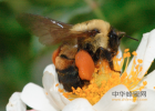 蜂蜜幸运草剧情介绍 蜂蜜化石 子宫肌瘤能喝蜂蜜吗 蜂蜜芦荟茶  青川蜂蜜