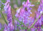 詹氏菊花蜂蜜 瓶装蜂蜜指标含量名词 蜂蜜茶治咽喉炎 集蜂堂枣花蜂蜜 正宗蜂蜜是怎样的