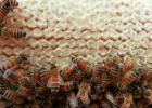 蜜蜂吃什么 蜜蜂图片 蜜蜂网 生姜蜂蜜水 蜂蜜的作用与功效减肥