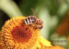 孕妇可以喝蜂蜜柠檬水吗 蜂蜜与四叶草真人 不透明的蜂蜜 喝茶对蜂蜜 蜂蜜怎么成熟