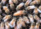 柠檬蜂蜜起泡 烟台田园蜂蜜 豆类与蜂蜜 蜂蜜对人有什么好处 哑巴吃蜂蜜歇后语