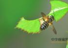 被蜜蜂蛰了怎么办 生姜蜂蜜祛斑 蜂蜜什么时候喝好 养蜜蜂 蜂蜜加醋的作用与功效
