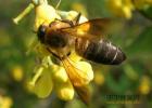 生姜蜂蜜祛斑 养蜜蜂技术视频 牛奶蜂蜜可以一起喝吗 蜂蜜核桃仁 冠生园蜂蜜价格